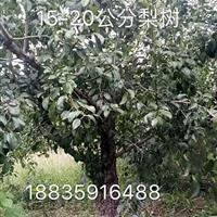 哪里有大规格梨树?粗度15公分18公分20公分大梨树价格地址