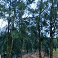 木麻黄树10公分