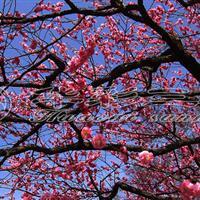 骨红朱砂梅_梅花树价格 梅花树多少钱