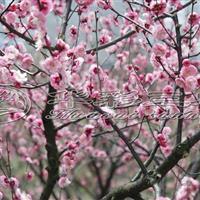 梅花树 5公分梅花_红叶美人梅