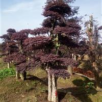 造型红桎木(红花继木桩)20公分小叶女贞造型树 3米造型赤楠