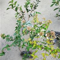 金叶大花六道木盆栽小杯大杯毛球灌木绿化工程用