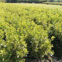 金边黄杨色块球型灌木盆栽大叶黄杨小叶黄杨