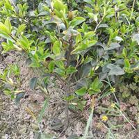 茶梅色塊精品球型茶梅盆栽小杯大杯球型灌木綠化工程用