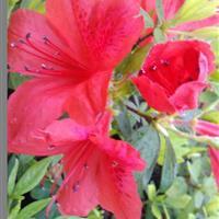 映山红树苗、映山红营养袋苗
