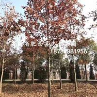 美国红枫7-14www.hg7788.com|首页/美国红栎/纳塔栎8-25公/北美枫香8