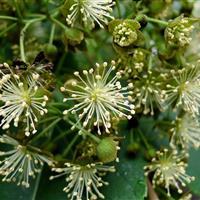 山桐子育苗、种植及销售