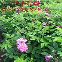 四季玫瑰地栽苗,四季玫瑰江苏基地,四季玫瑰图片介绍