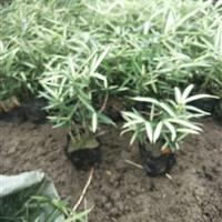 菲白竹小杯盆栽绿化工程地被用