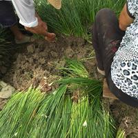 白花葱兰价格,葱兰、韭兰,数量实打实,专业供应葱兰