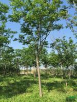浙江黄山栾树8公分—20公分*新报价/黄山栾树8公分—20公分图片