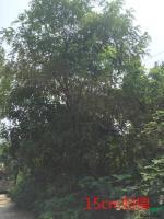 安徽15cm刺槐信息