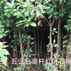 3、5公分高杆红叶石楠图片\3、5公分高杆红叶石楠报价