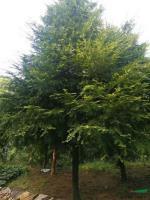 红豆杉2图片\红豆杉2报价