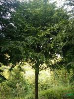 红豆杉3行情报价\红豆杉3图片展示