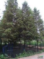 湖南水杉2信息