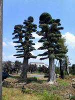湖南造型榆树最新报价/造型榆树图片
