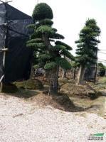 湖南造型榆树2介绍