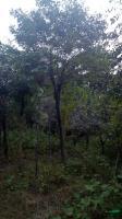 河南南阳大量供应皂角树 量大从优