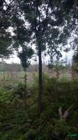 河南地区常年供应皂角树 绿化苗木供应
