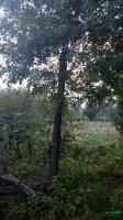河南地区供应10-20公分皂角树 皂角树价格