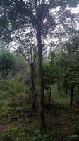 河南地区供应皂角树