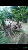 流苏,榔榆,青檀盆景2供应/流苏,榔榆,青檀盆景2图片