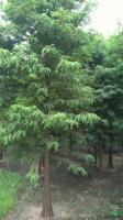 浙江落羽杉
