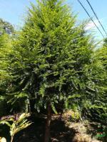 2一15公分以南方红豆杉3行情报价\2一15公分以南方红豆杉3图片展示