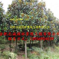 安徽出售精品白玉兰、广玉兰、紫玉兰、红花玉兰
