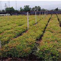 南天竹播種色塊盆栽小杯小毛球綠化工程用