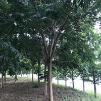 香樟樹。 無患子   烏桕   欒樹   樸樹   紅梅