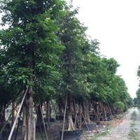 广东广大花木大叶榕供应40到130公分直径