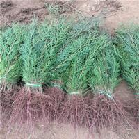 泡桐树 规格齐全 品种优良 易栽植 易成活