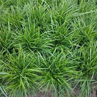 湖北襄阳供应麦冬草高25~30公分,专供中,细叶阔叶麦冬草