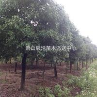 香樟、香樟树价格、精品香樟、大规格香樟树低价供应