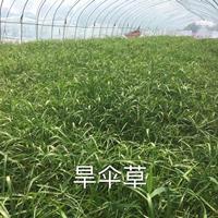 旱伞草、旱伞草价格、旱伞草常年低价供应