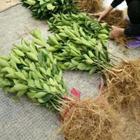 福建省漳州市柑子,橙子,柚子水果苗基地