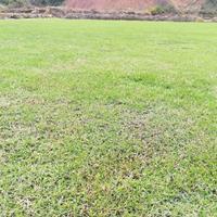 马尼拉草皮 2018马尼拉草坪价格 湖南马尼拉草皮