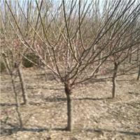 厂家直销红梅苗 耐寒梅花树 5-10公分红梅小苗