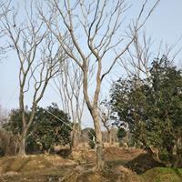 浙江湖州供应大量15-50公分精品朴树