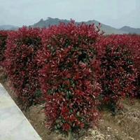 浙江供应大量红叶石楠 红叶石楠球 石楠柱