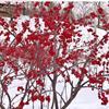 北美冬青耐寒抗冻,果实鲜红