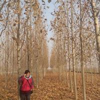 速生法桐,美国红枫,山东省济宁市兖州区爱鑫苗木种植合作社