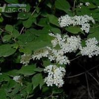 小花溲疏报价,小花溲疏厂家,小花溲疏种植基地