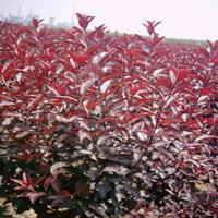 供应紫叶矮樱绿化苗木、规格齐全、小区别墅道路绿化彩色树种