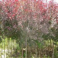 基地直销优质量大优惠紫叶矮樱 全国批发规格齐全绿化苗木