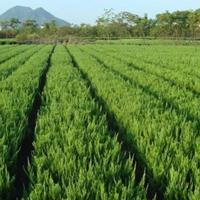 绿篱色块类:龙柏、卫矛、扶芳藤、金叶女贞、大叶黄杨、小叶黄杨