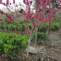 红叶桃、碧桃、寿心桃、金银木、丁香、木槿、芙蓉、结香、木绣球