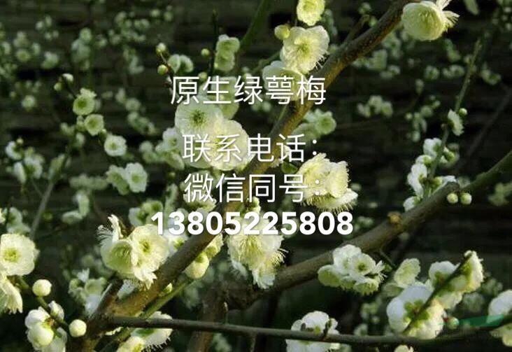 新沂市高流镇高家庄梅花园